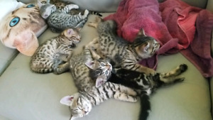 Bengal kittens - ready for xmas
