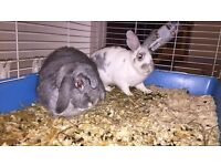 2 lovely bunny rabbits looking for a new home