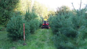 $125 ORO White Pine Landscaping Trees