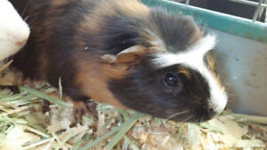Cute Young Guinea Pig's