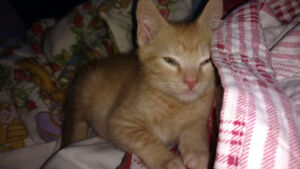 Free male kitten to good home!