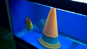 for sale babies discus fish