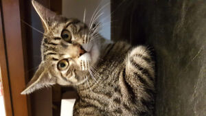 chatte bengal a donner
