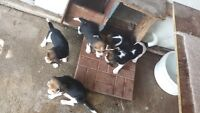 Beagle Puppies For Sale 3 female 2 male