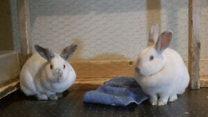 Looking for a New Home for Alice & Mallow (Bonded Bunnies)
