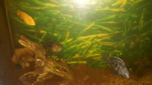 Fish for Rehome. All mature. Mixed Cichlids