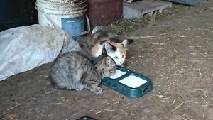 2 chattes grise et espagnole à donner