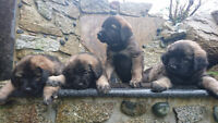 Beautiful Caucasian/King Shepherd puppies for sale to good home