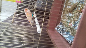 Nice singing canaries with cage  $90 , female  $50