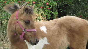 SALE PENDING! CPHA Registered Weanling Pinto Filly!