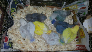 ❤HAND FED/HAND RAISED TAMED BABY LOVE BIRDS FOR SALE $55❤