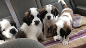 Beautiful Purebred St. Bernard Puppies Now Ready for Great Homes