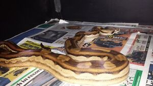 Pair of boas for sale