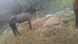Standardbred mare for sale to the best home