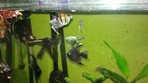 9 angelfish and 8 rummynose
