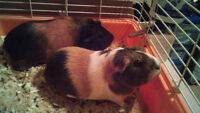 TWO FEMALE GUINEA PIGS NEED GOOD HOME