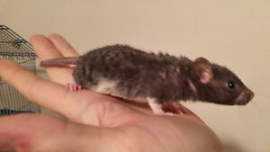 Baby Rex (Curly-Haired) and Hairless Rats