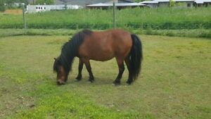 Registered Miniature Mare