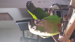 UPDATED- Available and Upcoming Babies - Tiny Beaks Aviary