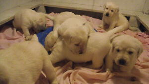 Gorgeous Yellow LABRADOR RETRIEVER Puppies