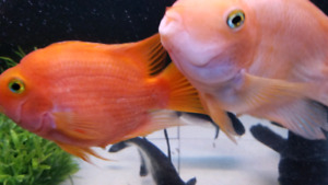 "Beautiful and lovely 2 red parrot fish size XL 8""-9"""