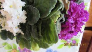 Violette africaine 2 couleurs
