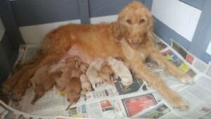 F1B LABRADOODLE PUPS - JUST 2 LEFT