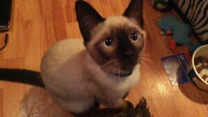 BEAUTIFUL ONE YEAR OLD SEAL POINT SIAMESE NEEDS A DATE