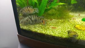 zebra chinchillas and pleco for sale