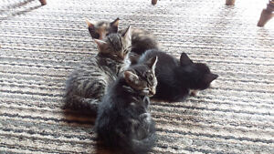 kittens to give away-Free
