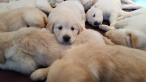Purebred, Creamy, Golden Retriever Puppies for Sale
