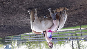 3 year old palamino kids pony started for sale