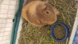 Guinea pig male looks for companion