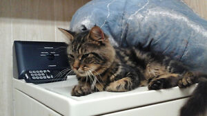 Superbe chat style Main coon a poils mi-long