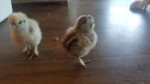 silkie chickens chicks for sale