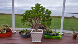 Lovely special kind of Jade plants in gorgeous pots,$120 each