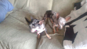 Looking for my Chihuahuas sold while in care