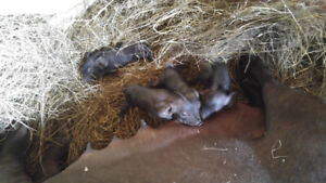 breeding large black pigs and piglets for sale
