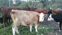 2 bred beef cows