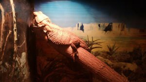 TANK ..×2 BEARDED DRAGONS..SELF TIMMER. Windsor Region Ontario image 1