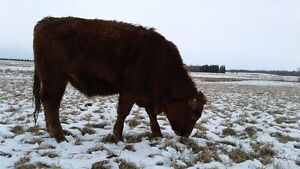 GRASS FED BEEF YOUNG TENDER FROZEN READY TO PICK UP IN 2 WEEKS