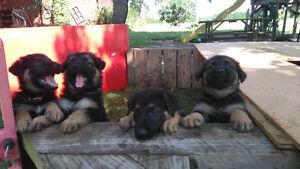 BEAUTIFUL PUREBRED GERMAN SHEPARD PUPPIES FOR SALE