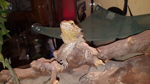 Bearded Dragon with Tank and Accessories