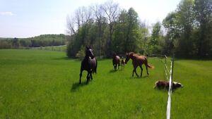 Hanoverian broodmare (registered main stud book)/ riding horse Gatineau Ottawa / Gatineau Area image 10
