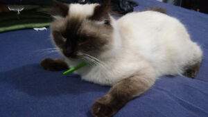 Young Adult Ragdoll Looking For New Home Windsor Region Ontario image 4