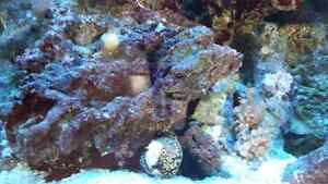 80 gal salt water aquarium  $1300 obo Campbell River Comox Valley Area image 4