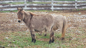 MULE FOR SALE!