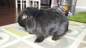 Dwarf lop eared male bunny