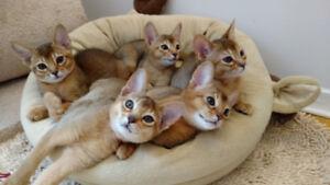 Magnifiques chatonnes Abyssins à la Chatterie ChAbyMiou!