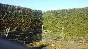 Cedar trees for privacy hedge